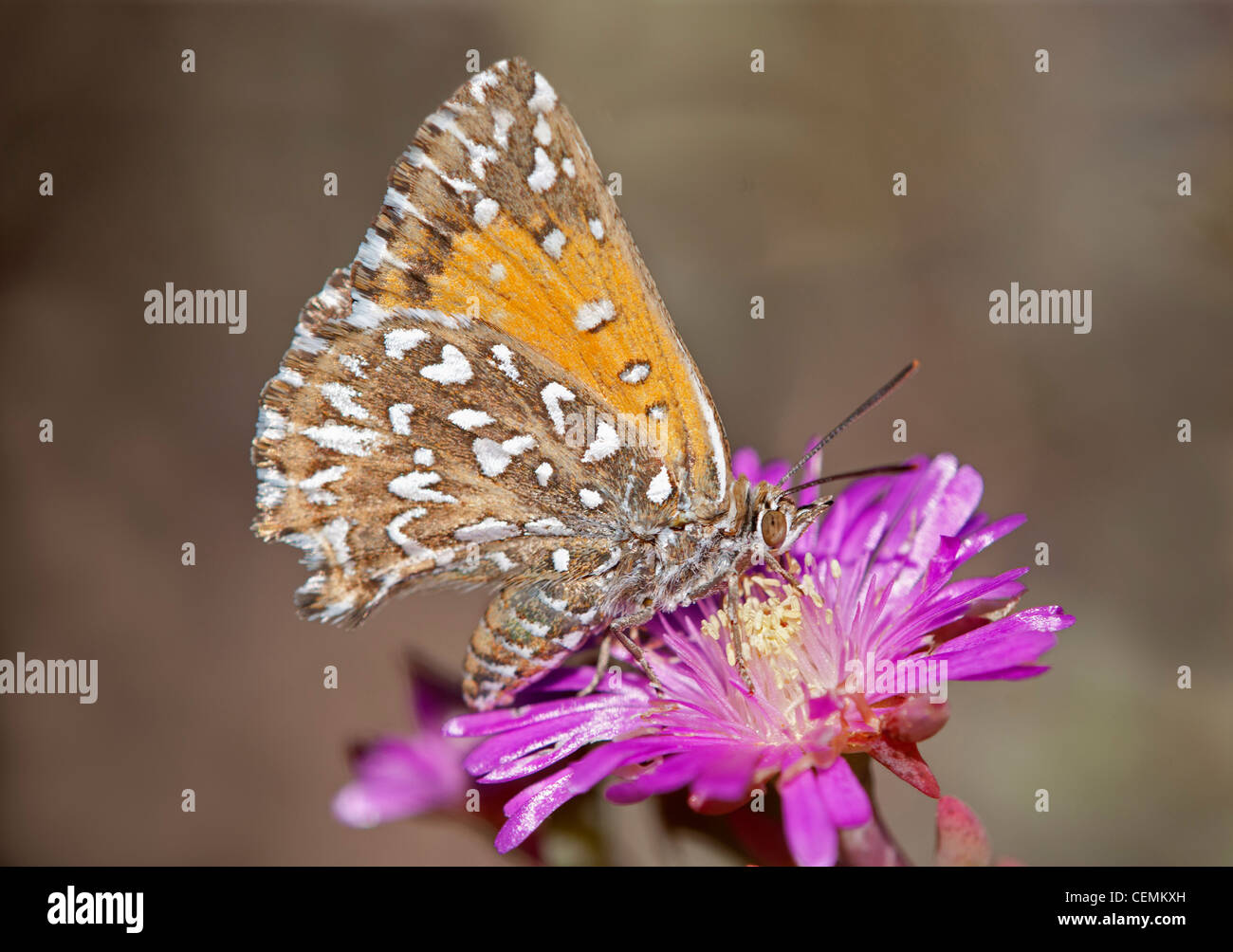Bộ sưu tập cánh vẩy 4 - Page 2 Large-silver-spotted-copper-trimenia-argyroplaga-indigenous-butterfly-CEMKXH