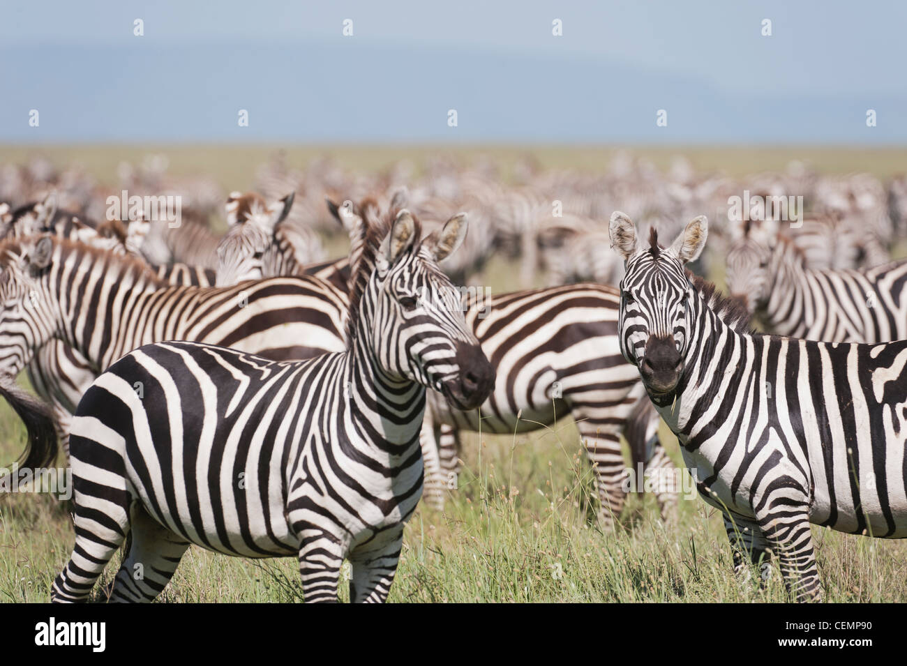 Zebra Herd on Serengetti - Stock Image