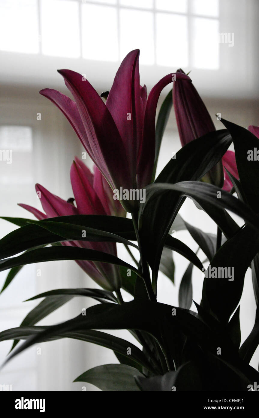 Claret lilys floristry home decor - Stock Image