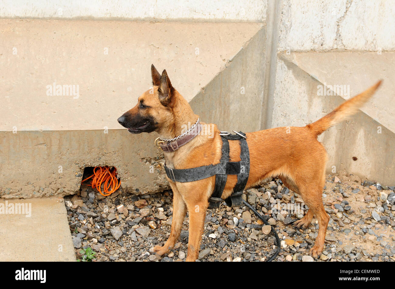 Afghanistan (February 17, 2012) Sgt. Anouska a Tactical Explosive Detection Dog (TEDD) has just found detonation - Stock Image