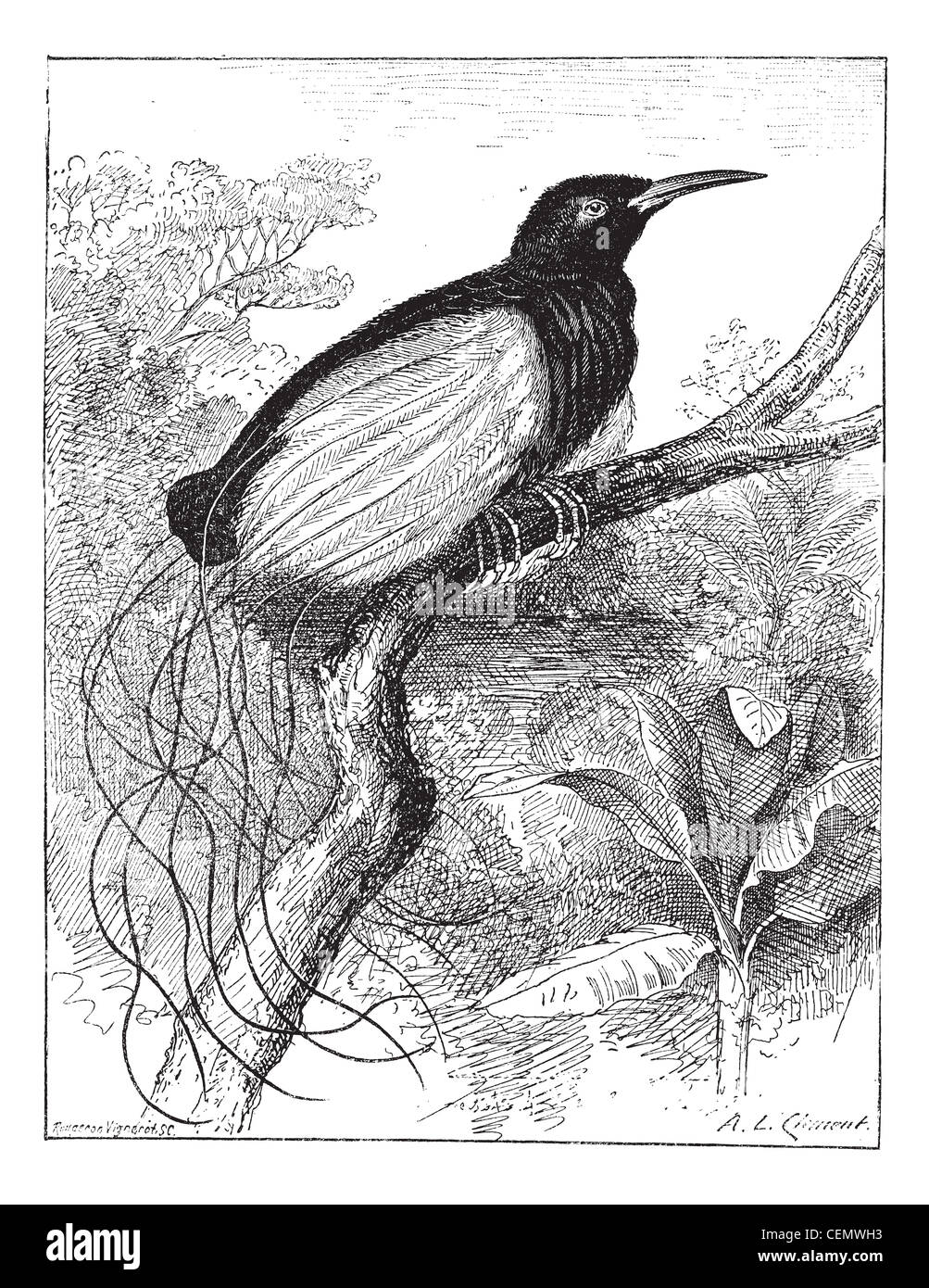 Twelve-wired Bird-of-paradise or Seleucidis melanoleucus or Stock ...