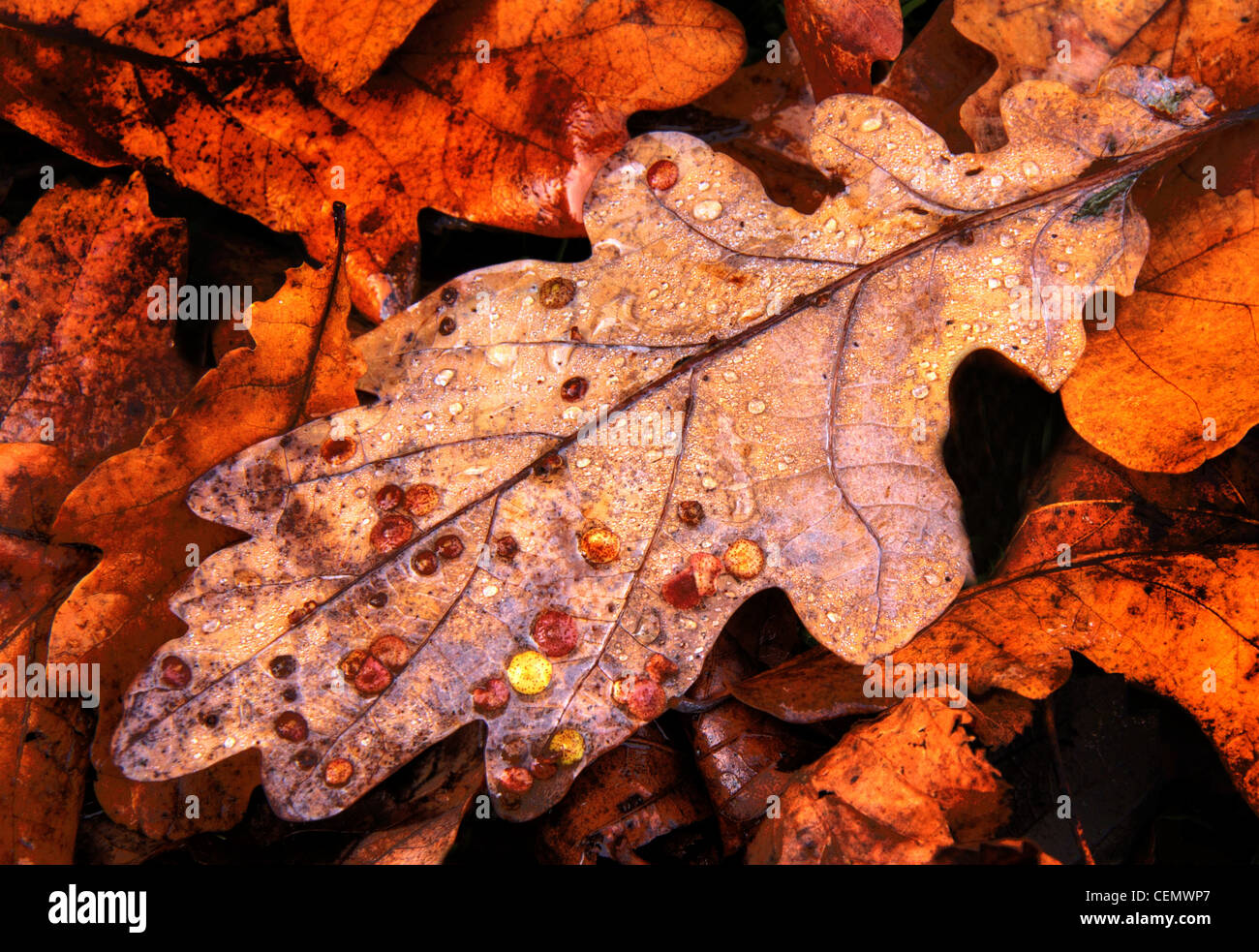 Common Oak Spangle Gall, brown, leaf, leaves the fall, autumn, UK, England - Stock Image