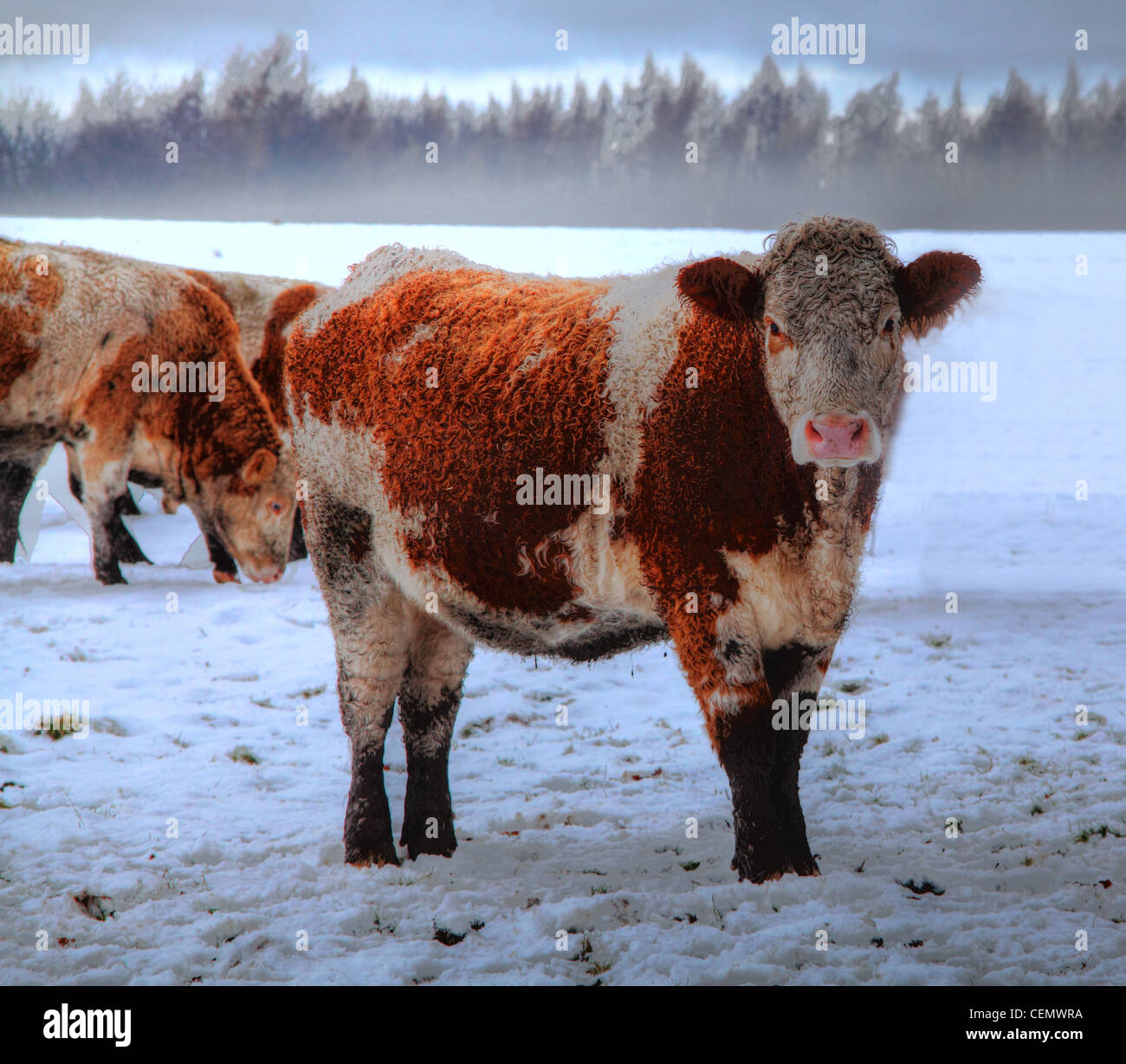 Brown and White Highland Cow near Dalkeith Palace, Midlothian, in ice, snow, harsh winter, Scotland, UK - Stock Image