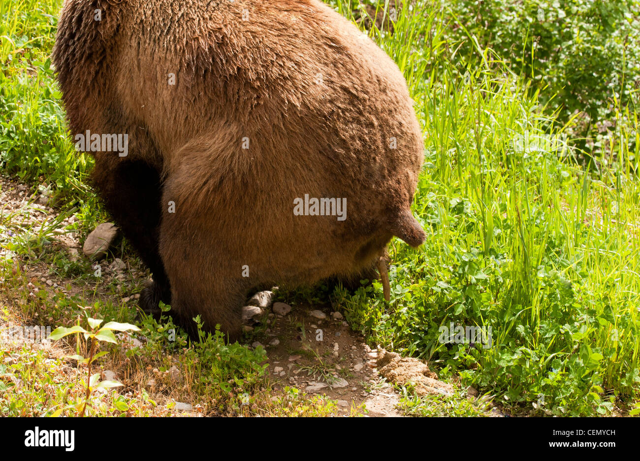 Grizzly Bear Defecating in British Columbia, Canada - Stock Image