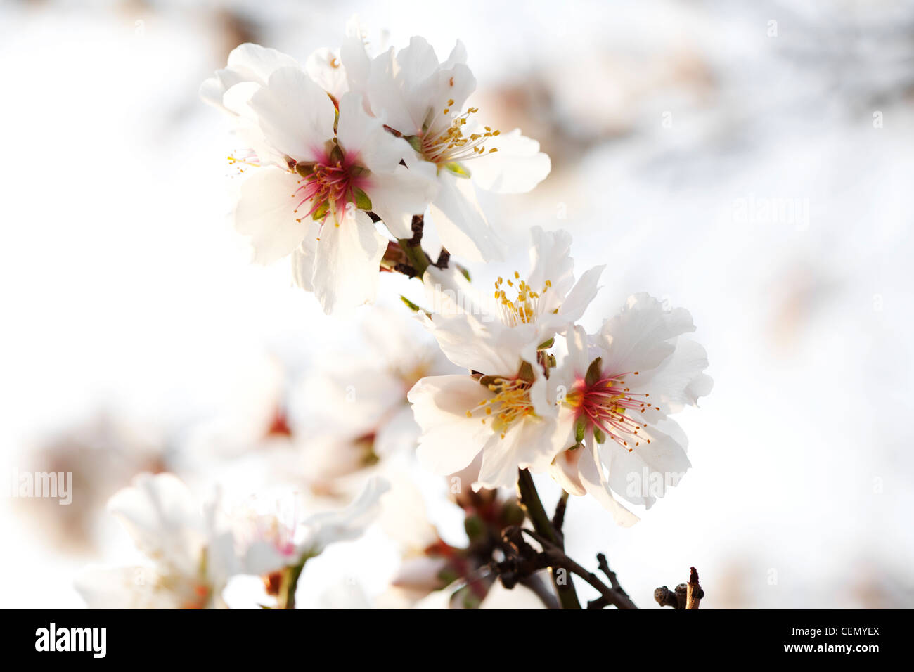 almond blossom - Stock Image