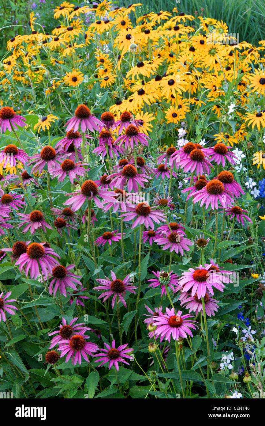 Purple coneflower and Black-Eyed Susan growing in combination. - Stock Image