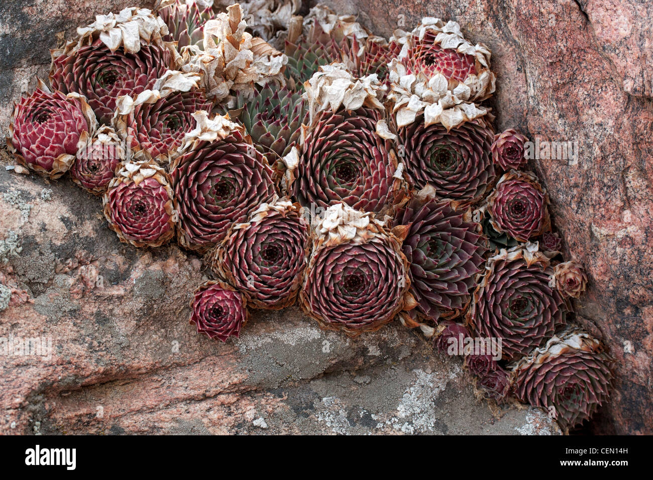 Hens-and Chicks as they appear in late winter - Stock Image