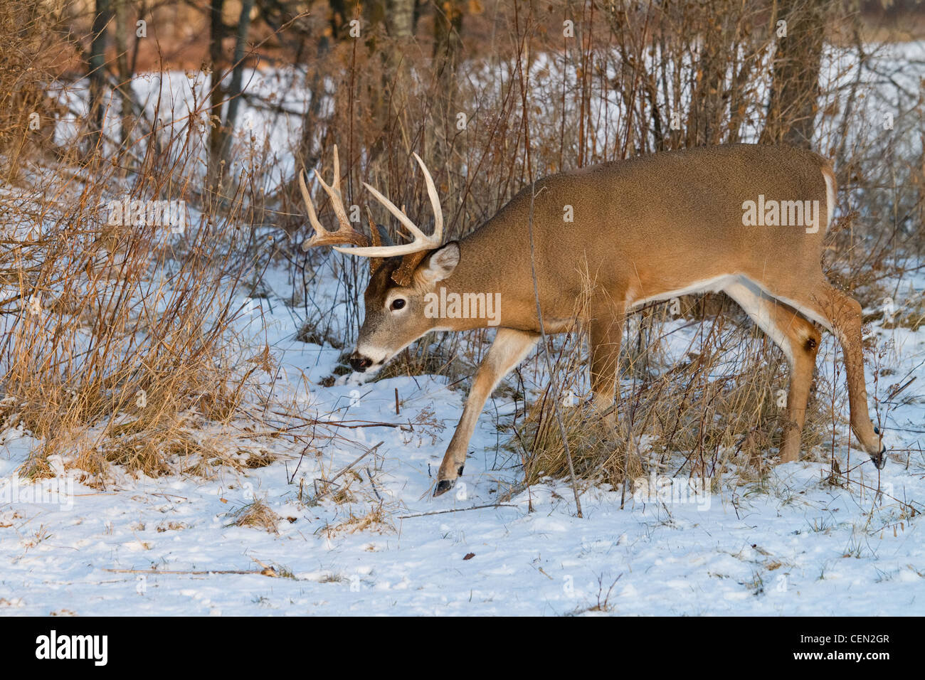 White-tailed buck in winter Stock Photo