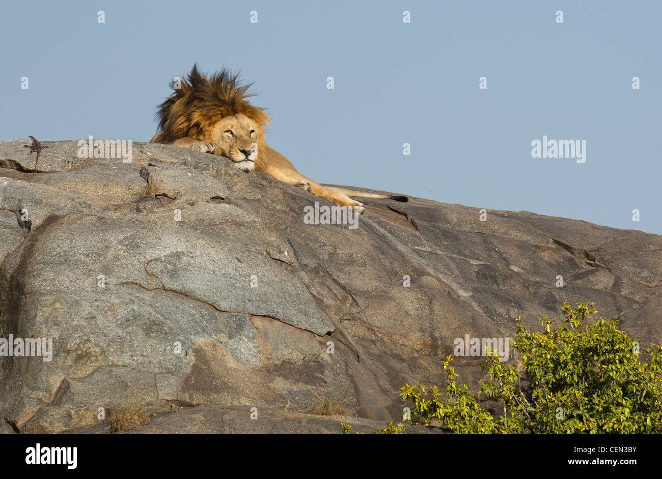Male African Lion asleep on top of a rock (Panthera leo) in the Serengeti, Tanzania - Stock Image
