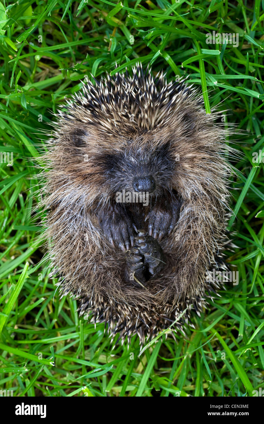 European Hedgehog - Stock Image