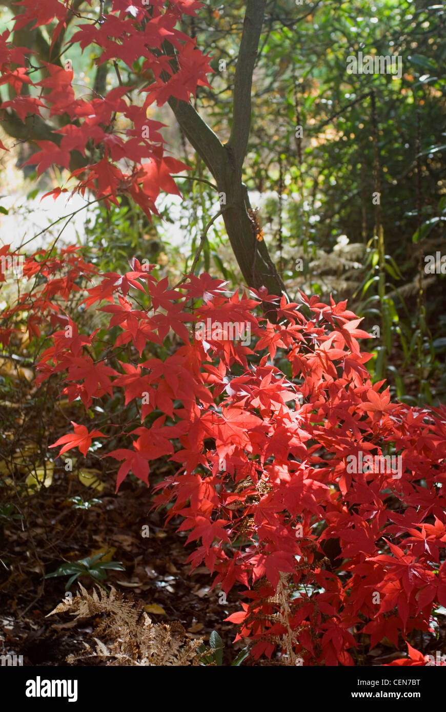 Acer Palmatum Red Baron In Autumn Stock Photo 43492732 Alamy