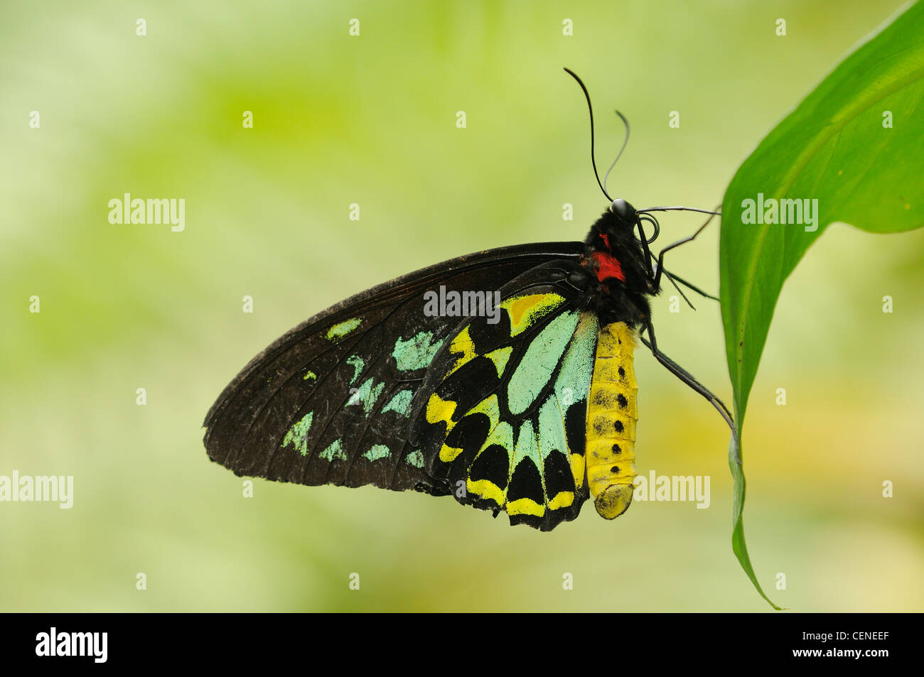 Cairns Birdwing Ornithoptera euphorion Male Photographed in Wet Tropics World Heritage Rainforest, North Queensland, - Stock Image