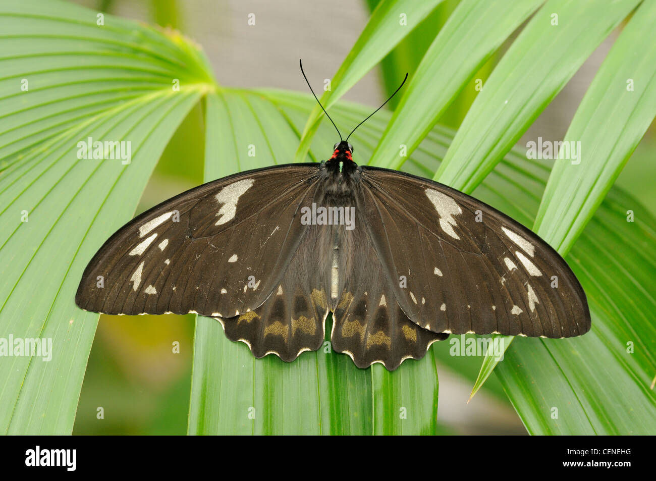 Cairns Birdwing Ornithoptera euphorion Female Photographed in Wet Tropics World Heritage Rainforest, North Queensland, - Stock Image
