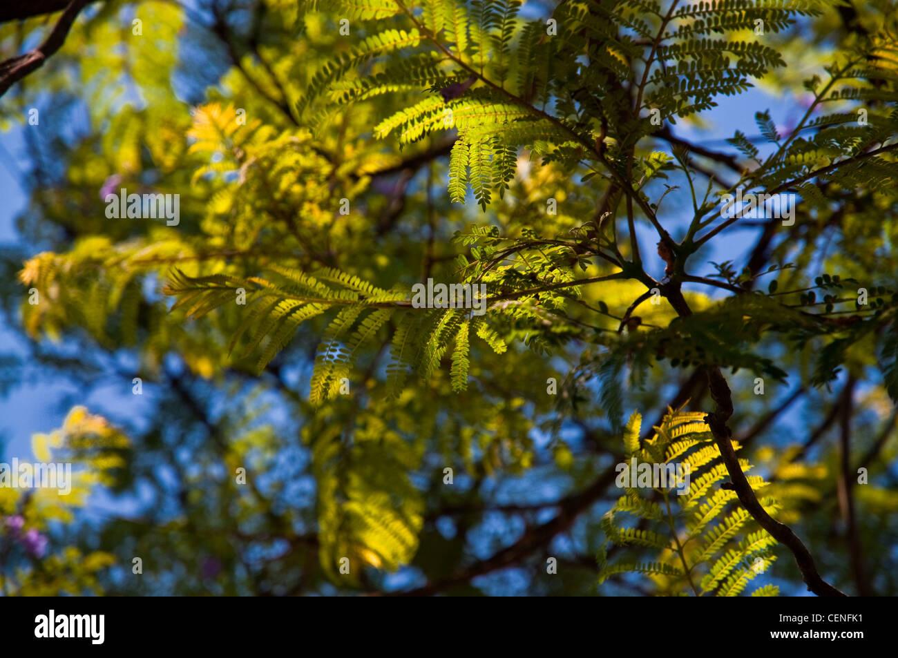 Close Up Of A Jacaranda Tree And Leaves Stock Photo Alamy