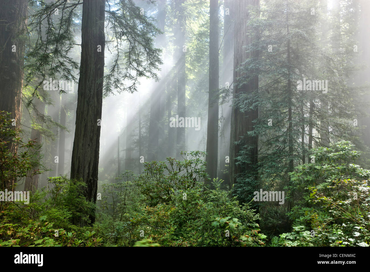 Redwood forest, sunrays passing through early morning fog. - Stock Image