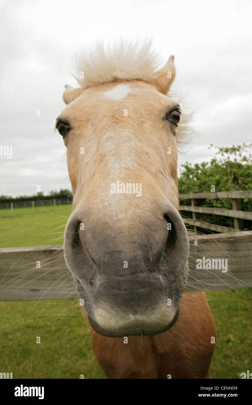 A light brown horse leans over the top of a field fence with its mouth and nostrils close to the camera. - Stock Image