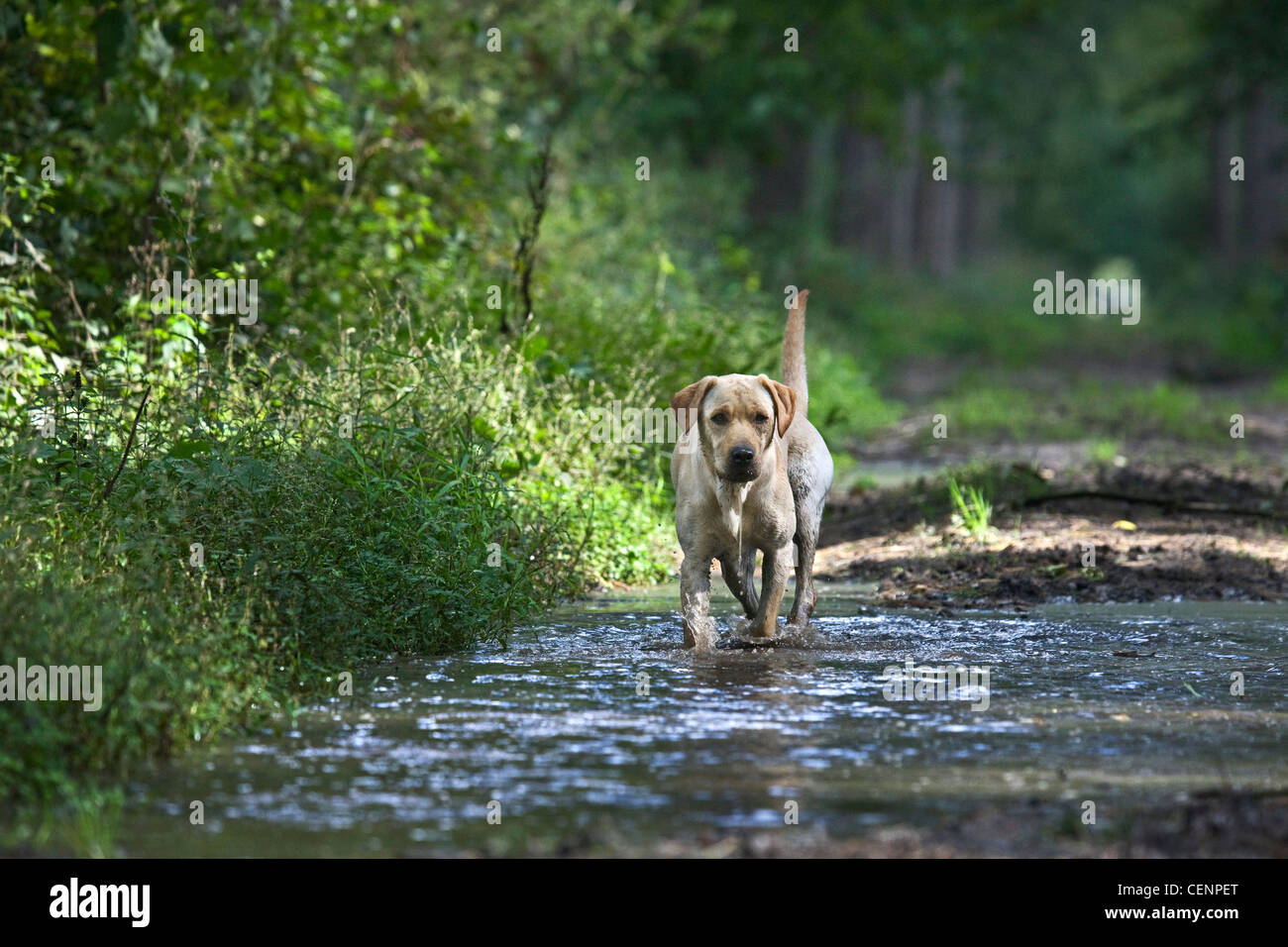 Labrador dog walking through water of muddy puddle on footpath in forest, Belgium - Stock Image