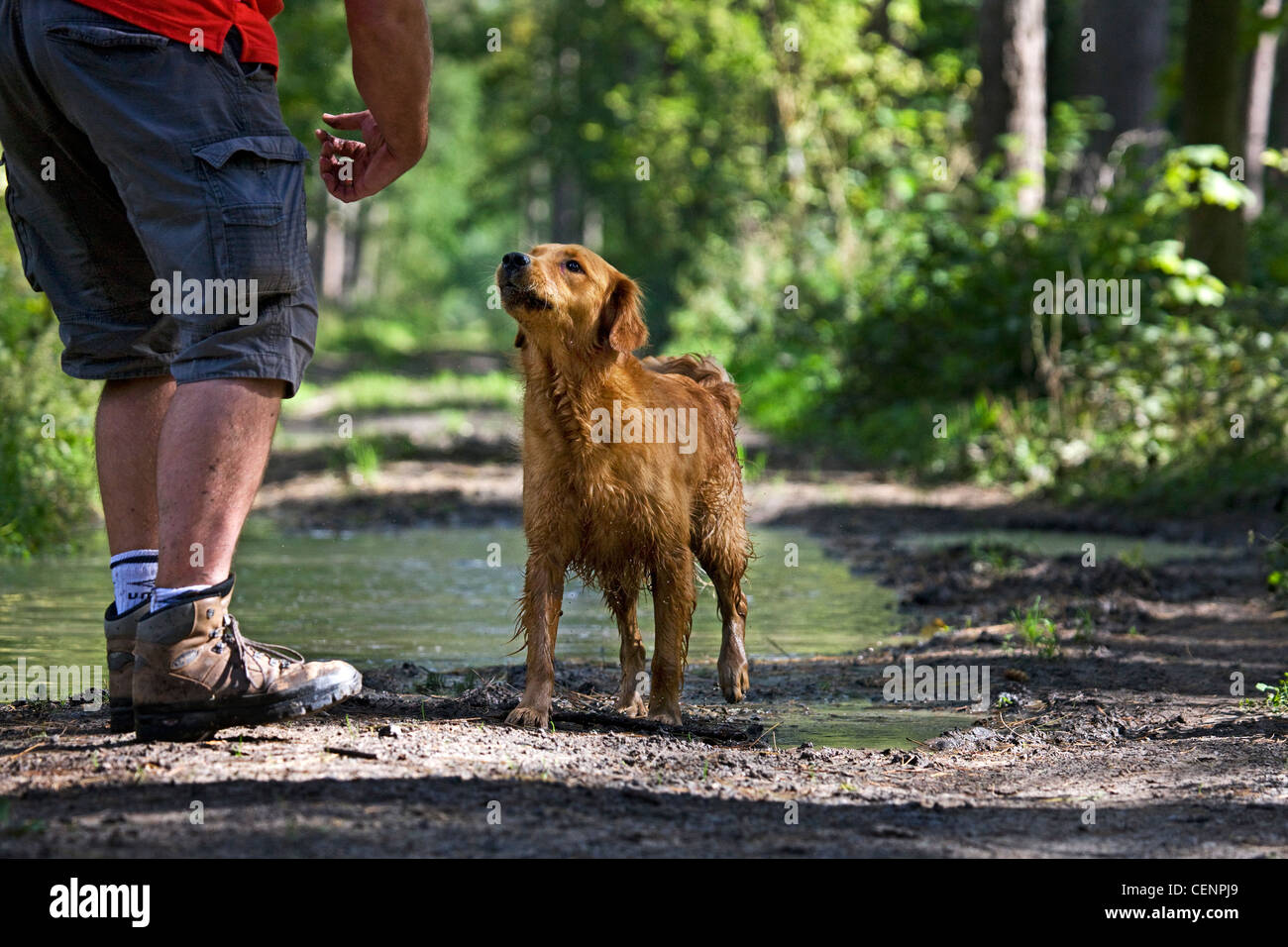 Golden retriever dog with wet fur and man going for a walk on muddy path with puddle in forest, Belgium - Stock Image