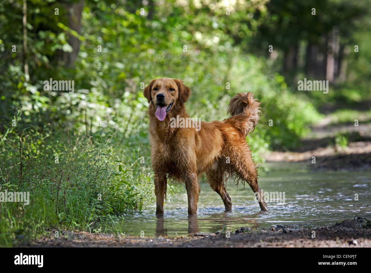 Golden retriever dog with wet fur standing in muddy puddle on forest track, Belgium - Stock Image