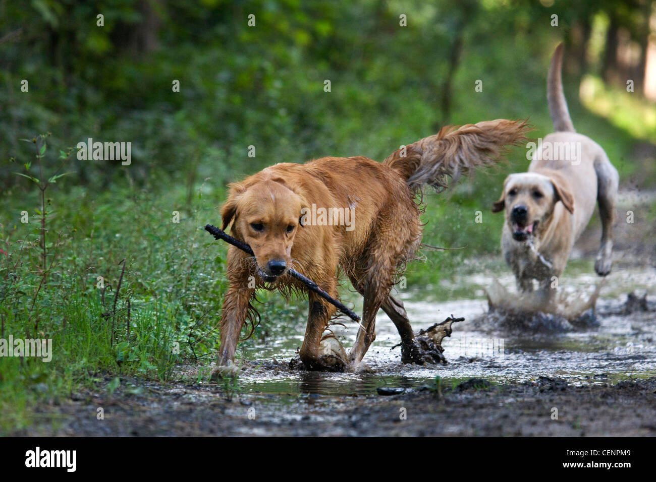 Golden retriever and labrador dogs playing and running with stick through muddy puddle on path in forest, Belgium - Stock Image