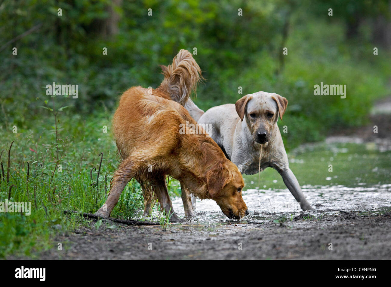 Thirsty Golden retriever and labrador dogs drinking water from muddy puddle on track in forest, Belgium - Stock Image
