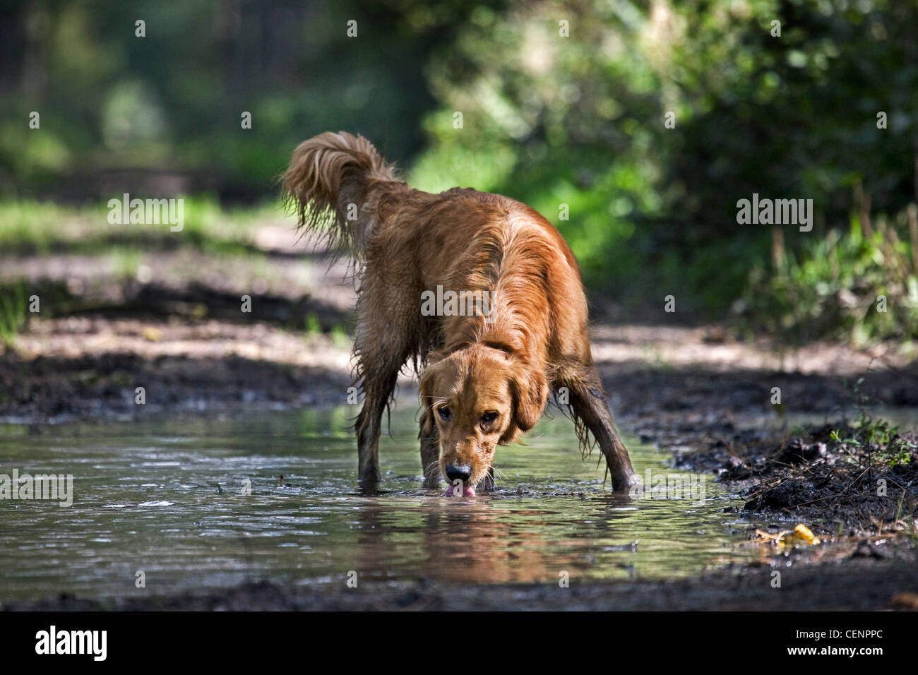 Thirsty Golden retriever dog drinking water from puddle on forest track, Belgium - Stock Image