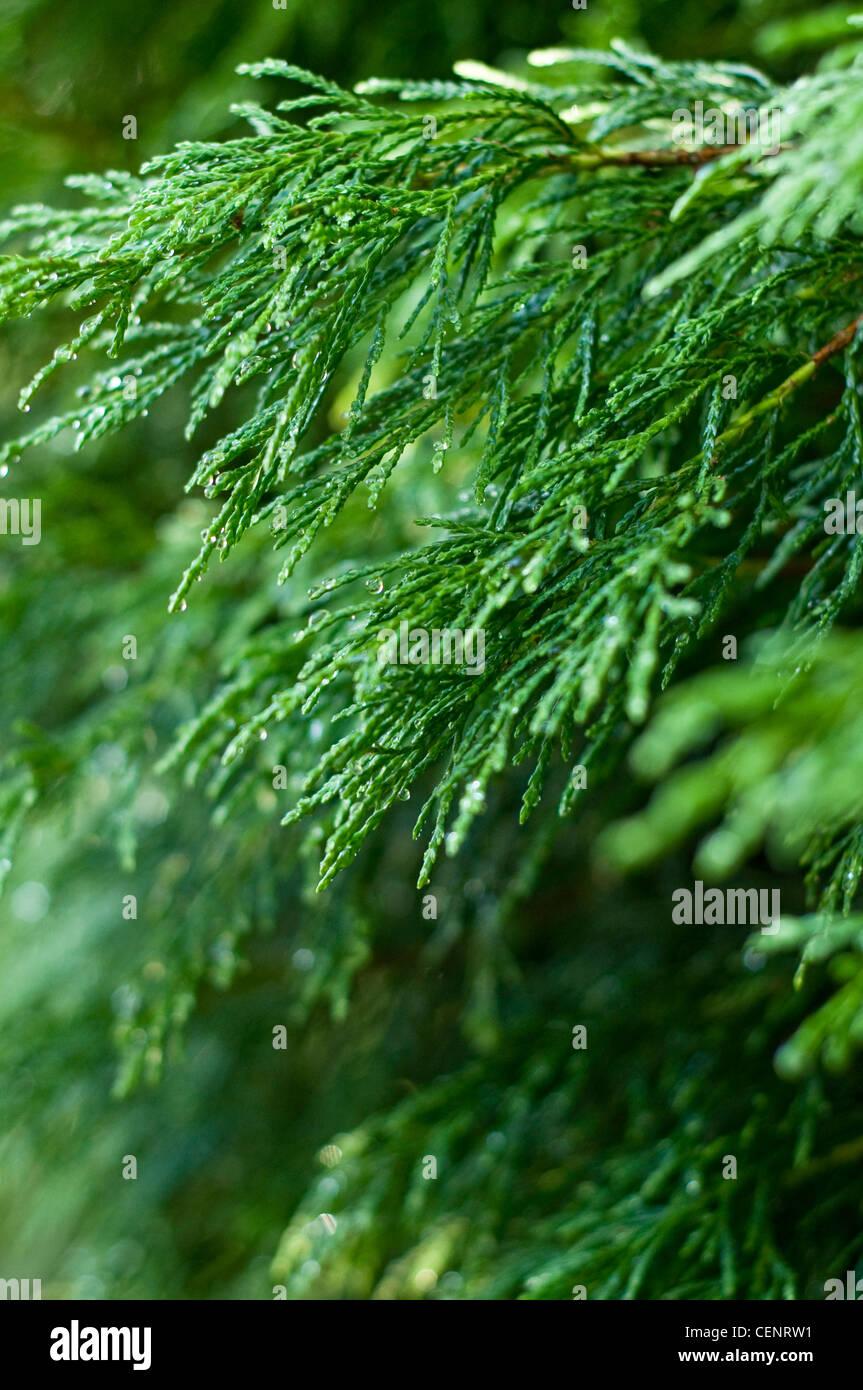 A Leyland Cypress (Cupressus × leylandii), often referred to as just Leylandii, growing in an English garden - Stock Image