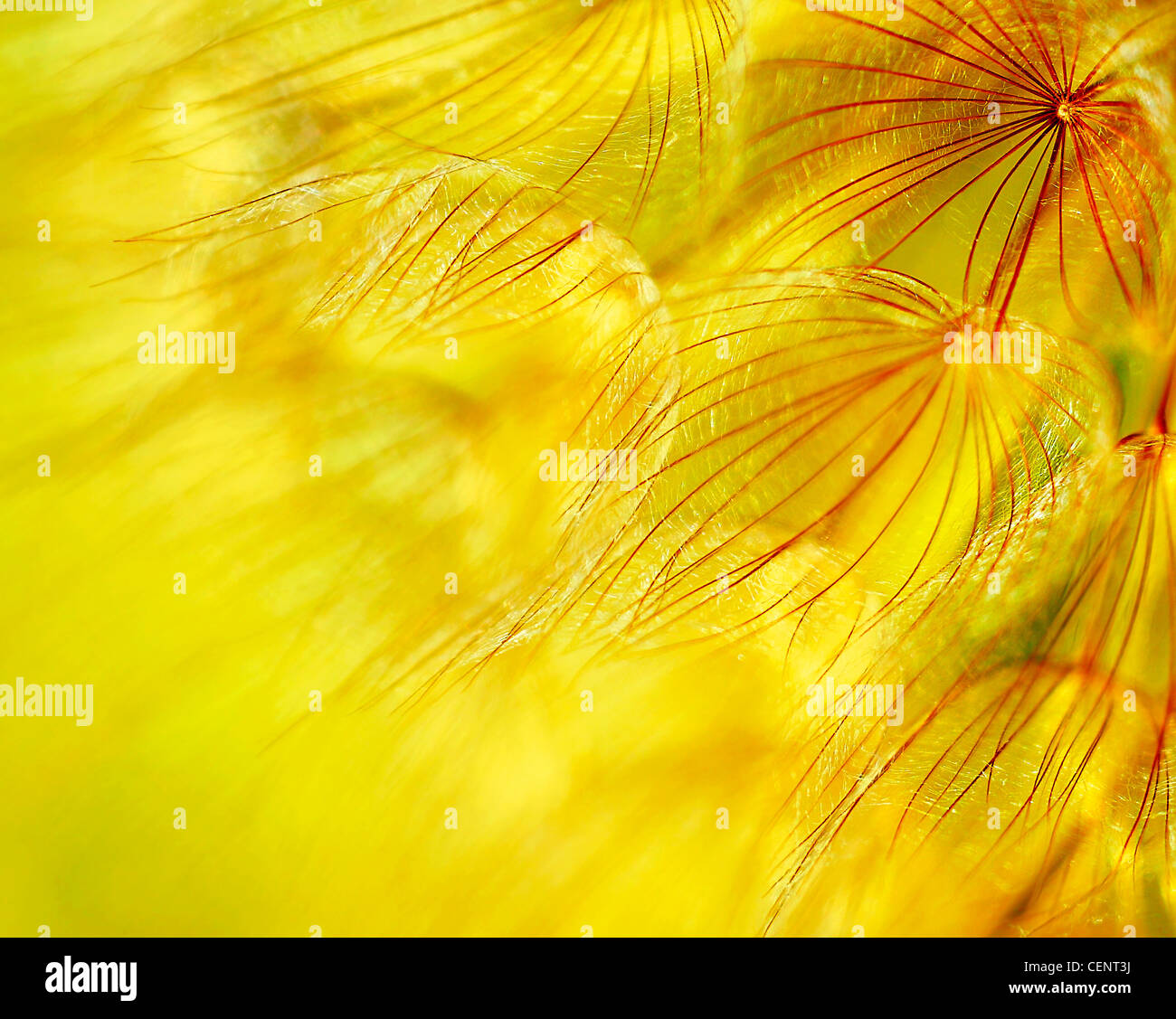Abstract dandelion flower background, extreme closeup with soft focus, beautiful nature details - Stock Image