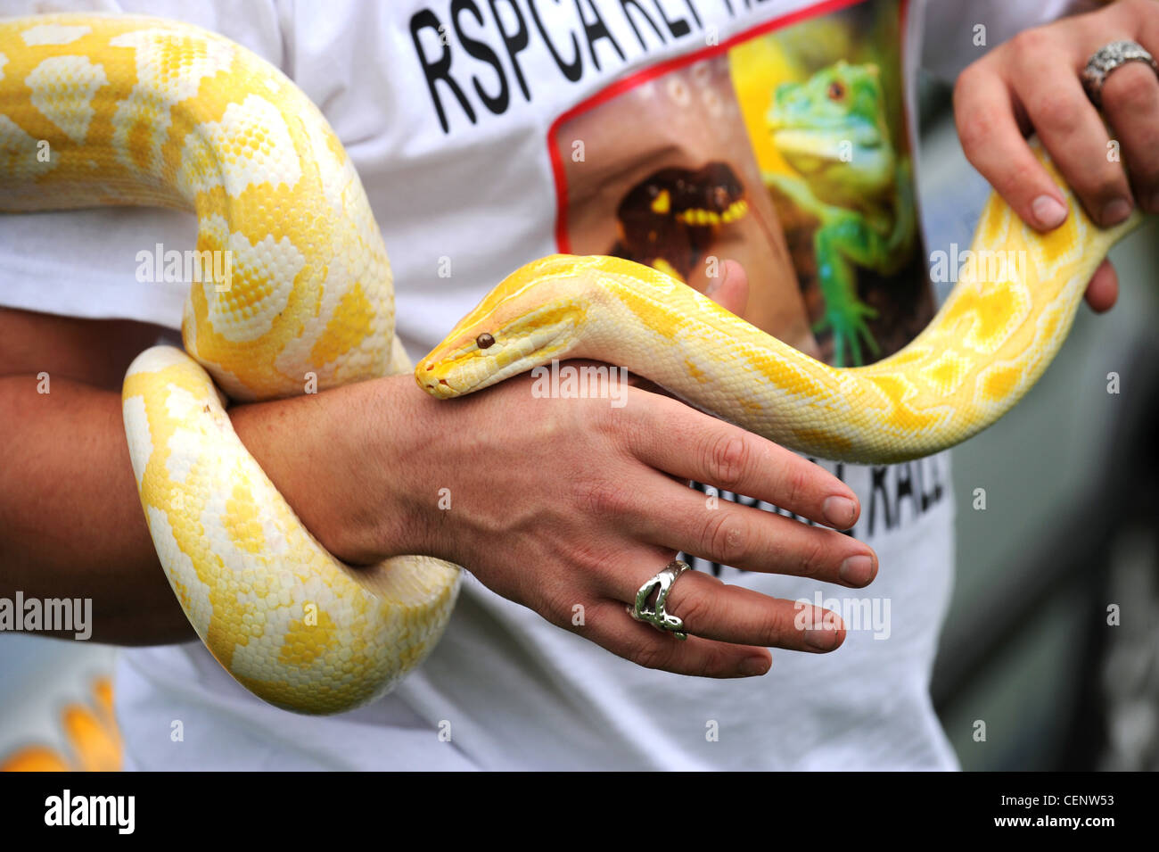 An Albino Python handed in to the RSPCA and now looking for a new home - Stock Image