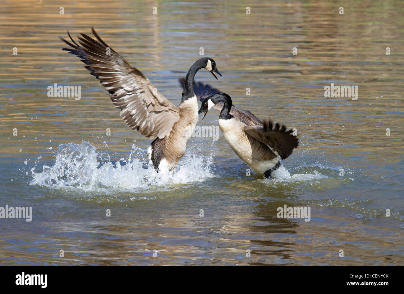 Males Canada geese (Branta canadensis) fighting for breeding territory. Stock Photo