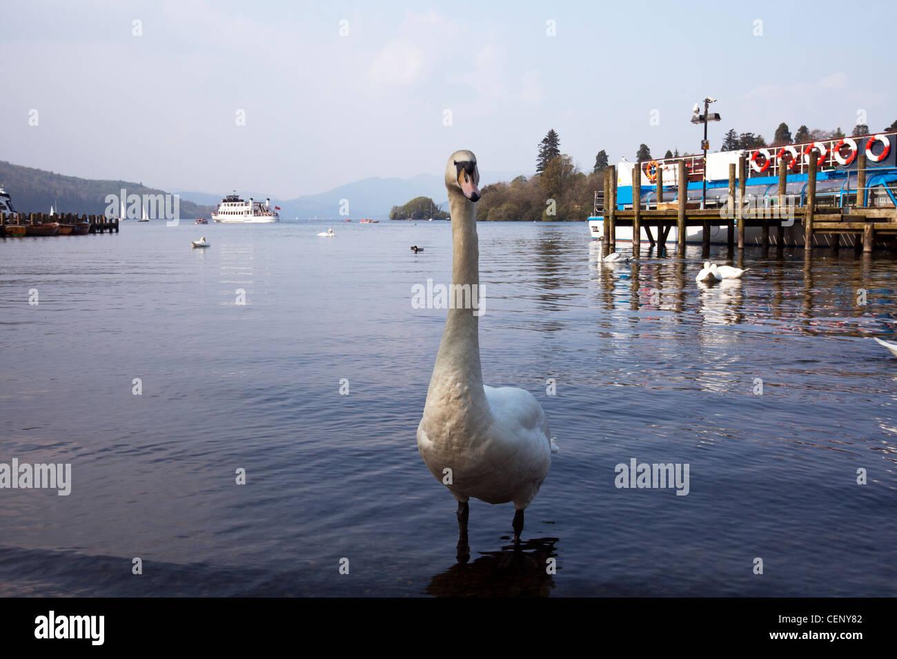 Detail of white swan at lake windermere, Cumbria - Stock Image