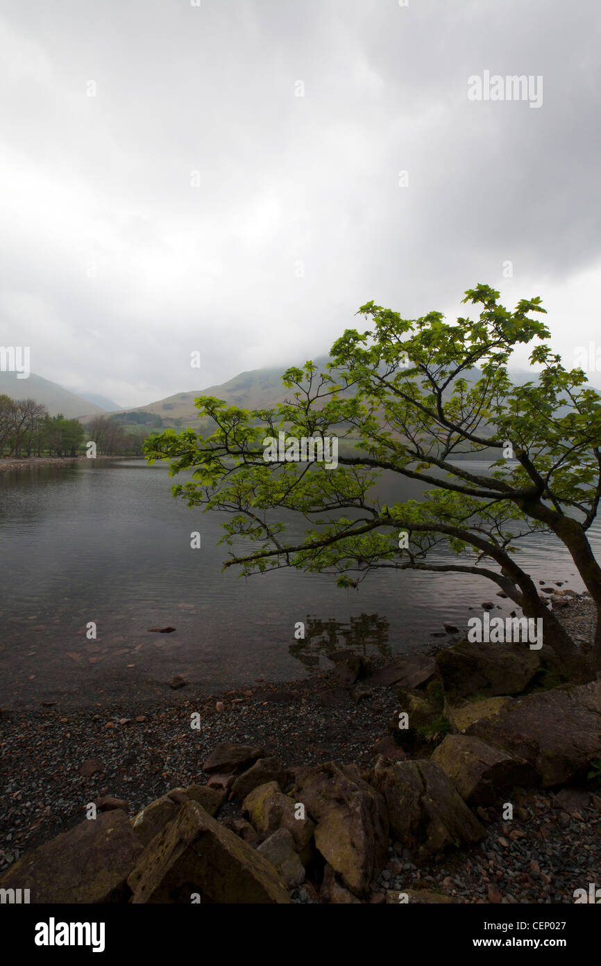 Tree overhanging Buttermere Lake, Cumbria, England on a typical dull misty day - Stock Image