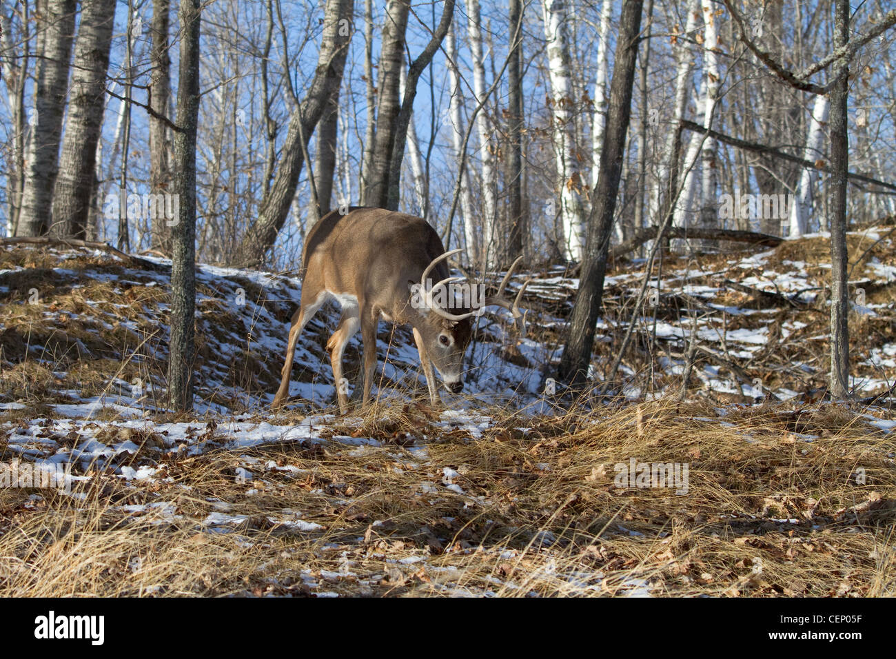 White-tailed deer in winter Stock Photo