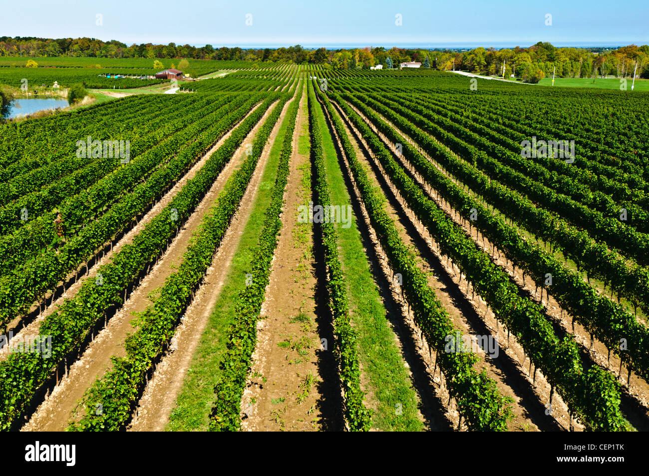 Vineyard in Niagara Wine Region, Ontario, Canada - Stock Image