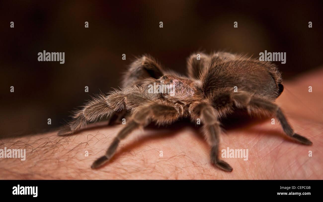 a spider on a person's arm; edmonton, alberta, canada - Stock Image