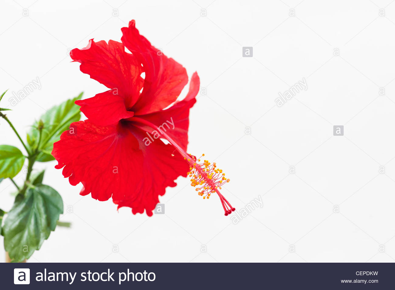 Hibiscus Rosa Sinensis Red Hibiscus Flower On White Background
