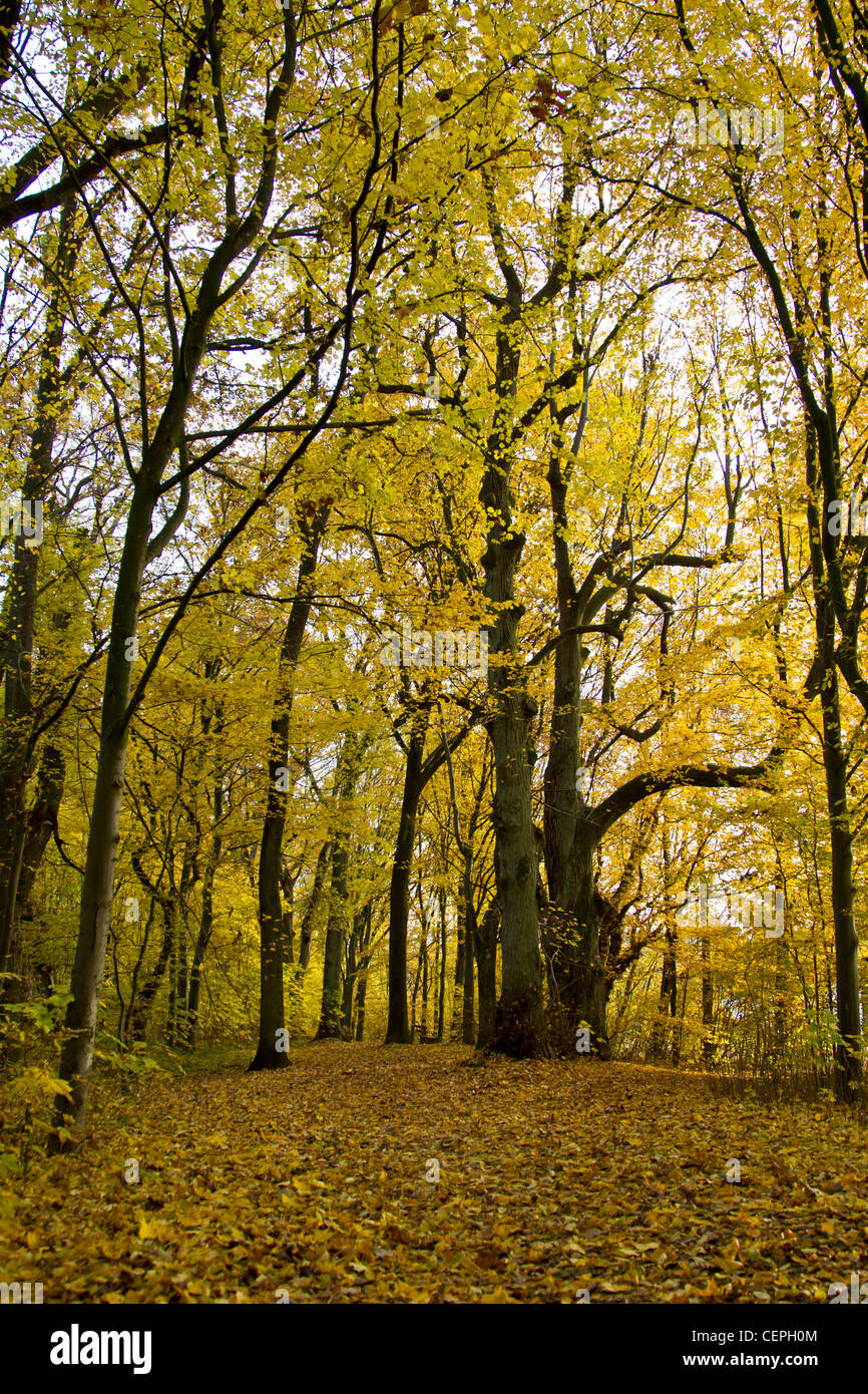 Tree backlit autumn leaves colorful - Stock Image