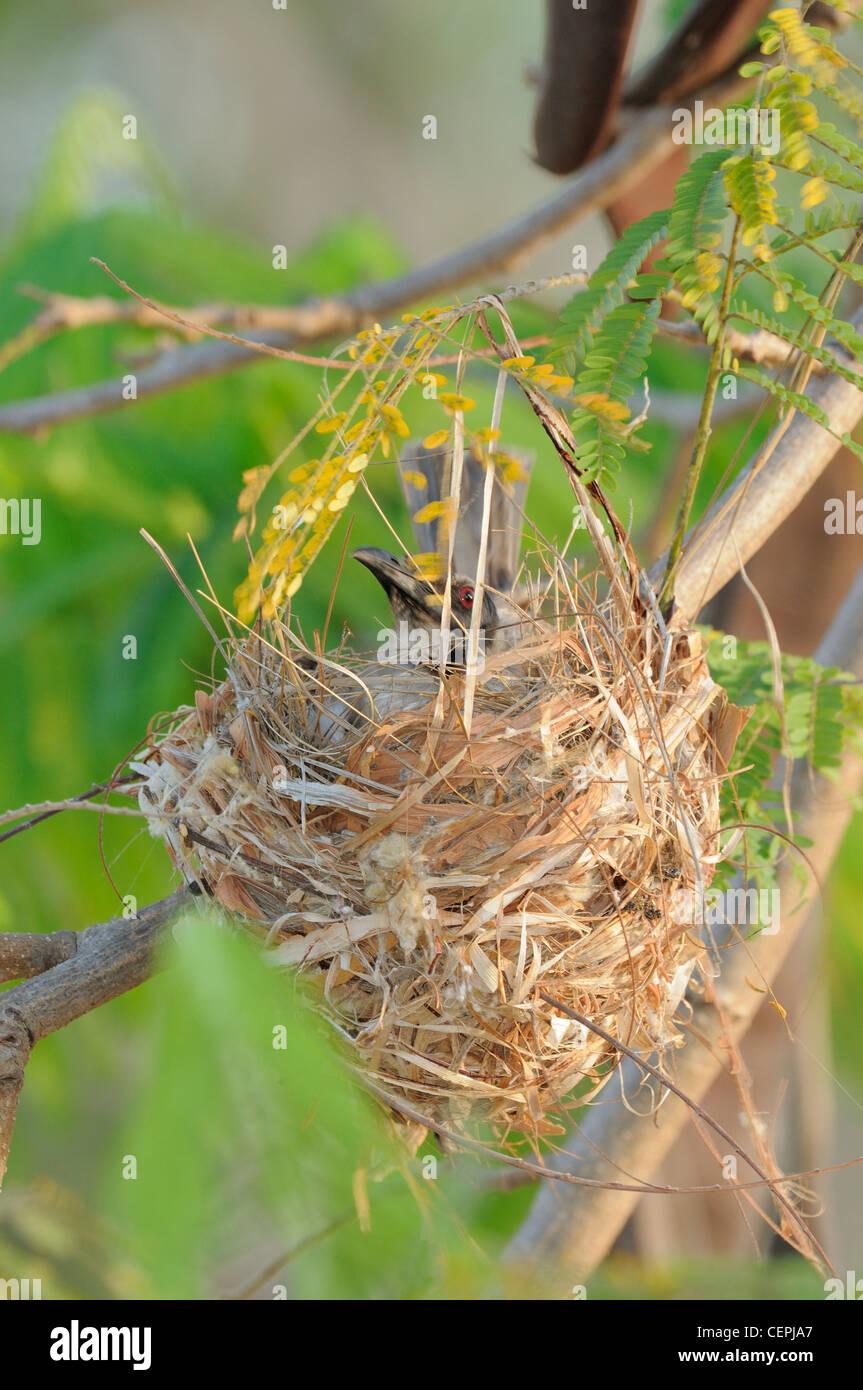 Noisy Friarbird Philemon corniculatus On nest Photographed in Queensland, Australia - Stock Image