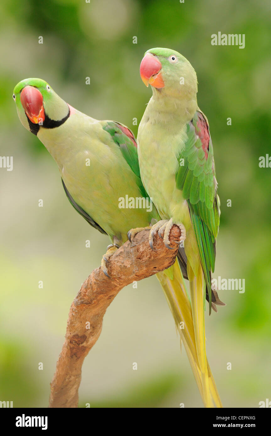 Indian Ringneck Parrot Stock Photos & Indian Ringneck Parrot Stock