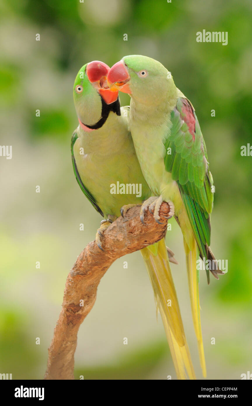 Indian Ringneck Parrot Psittacula Krameri Manillensis Male And