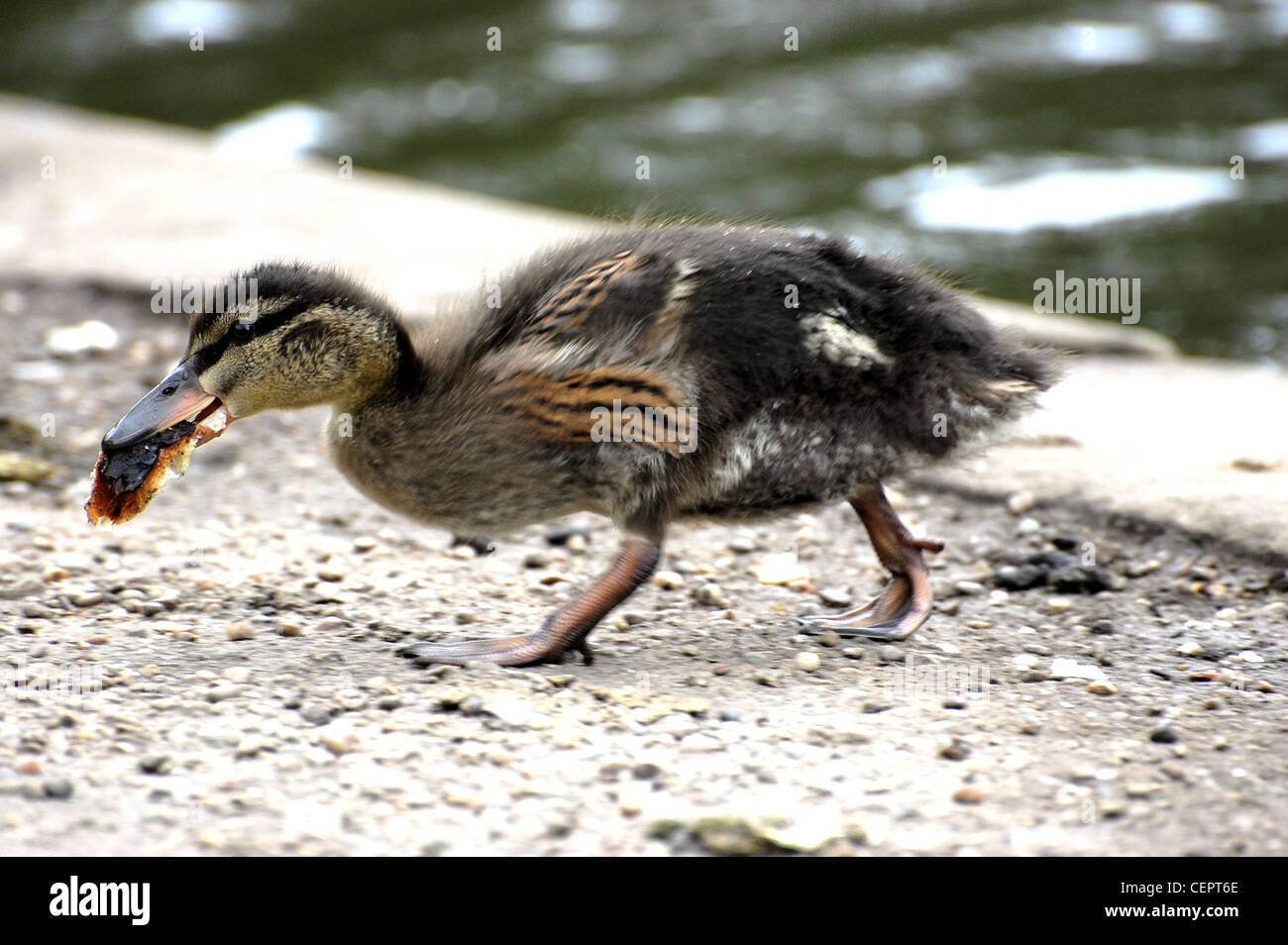 Young Mallard scooping up fragment of crusty white bread - Stock Image
