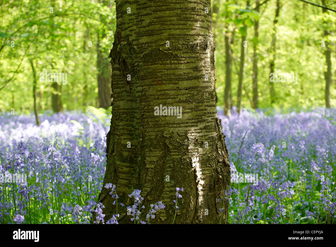 A tree standing in a wood full of Bluebells. Stock Photo