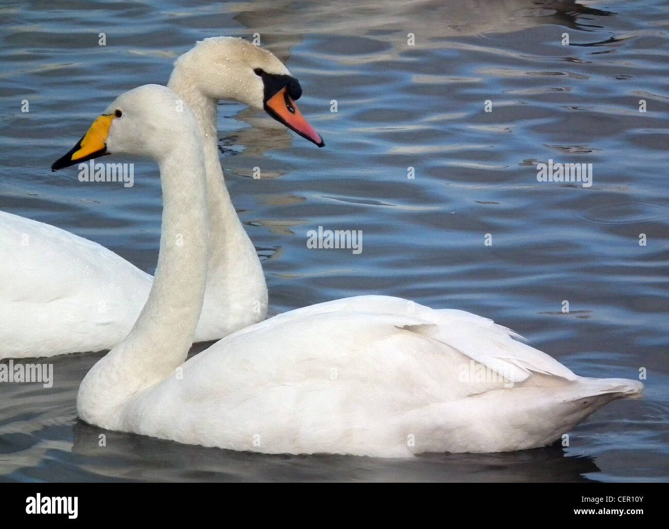 WHOOPER SWAN (front) and MUTE SWAN at the Wildfowl and Wetlands trust (WWT) at Caerlaverock, Scotland. Photo Tony Stock Photo