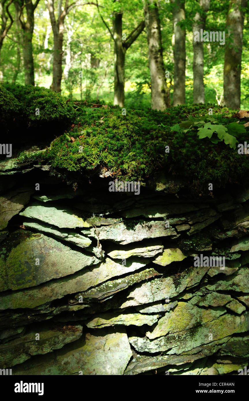 A moss covered slate stone wall enclosing woodland of the RSPB Ynys-Hir bird sanctuary. - Stock Image