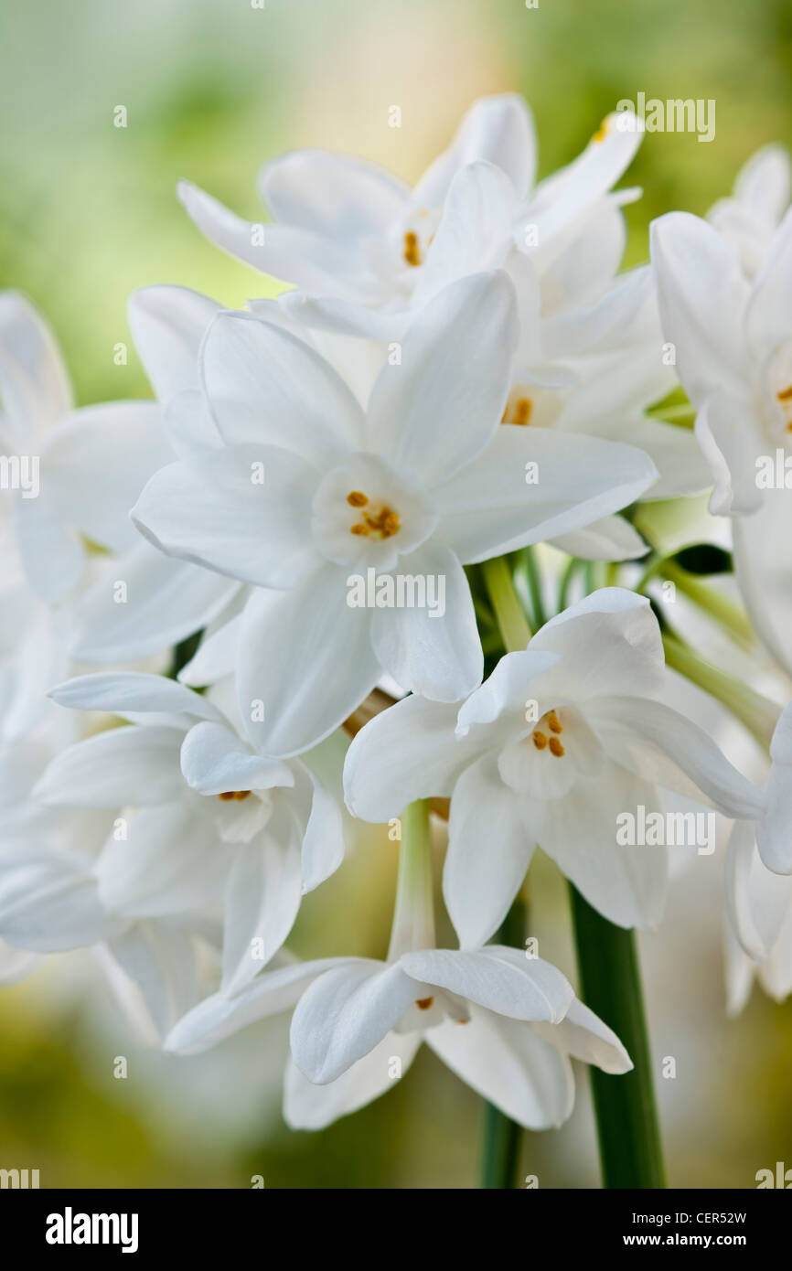paperwhite Narcissus papyraceus scented scent perfume early spring ...