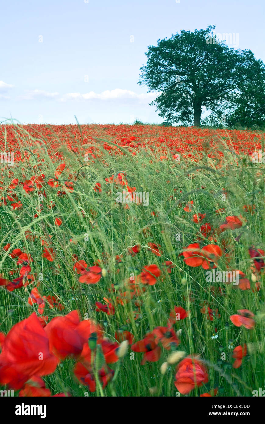 Wild poppies. Although it is more common to find red poppies, there are also white, pink,  yellow, orange and blue - Stock Image