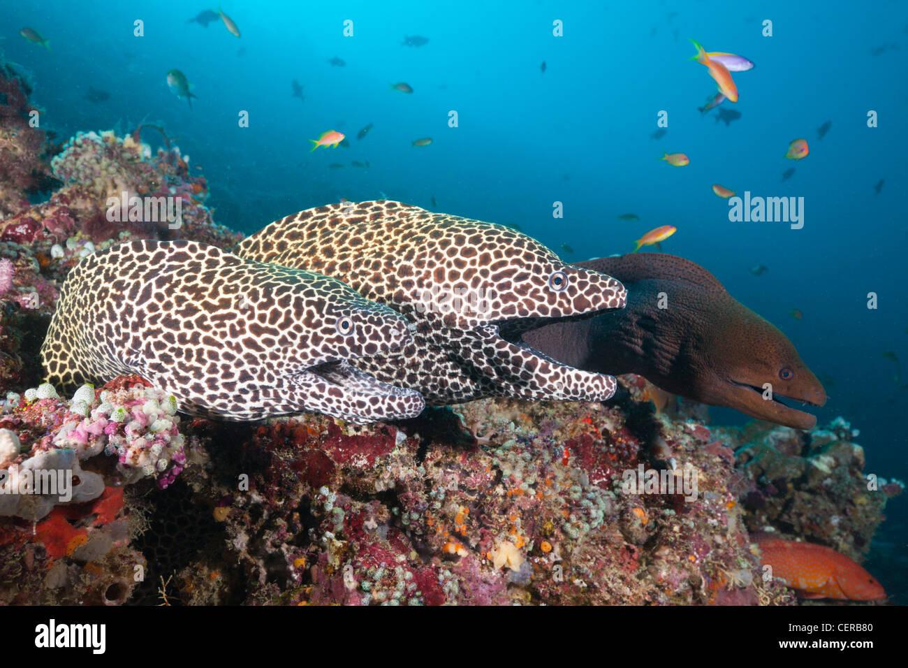 Pair of Honeycomb Moray, Gymnothorax favagineus, North Male Atoll, Indian Ocean, Maldives Stock Photo