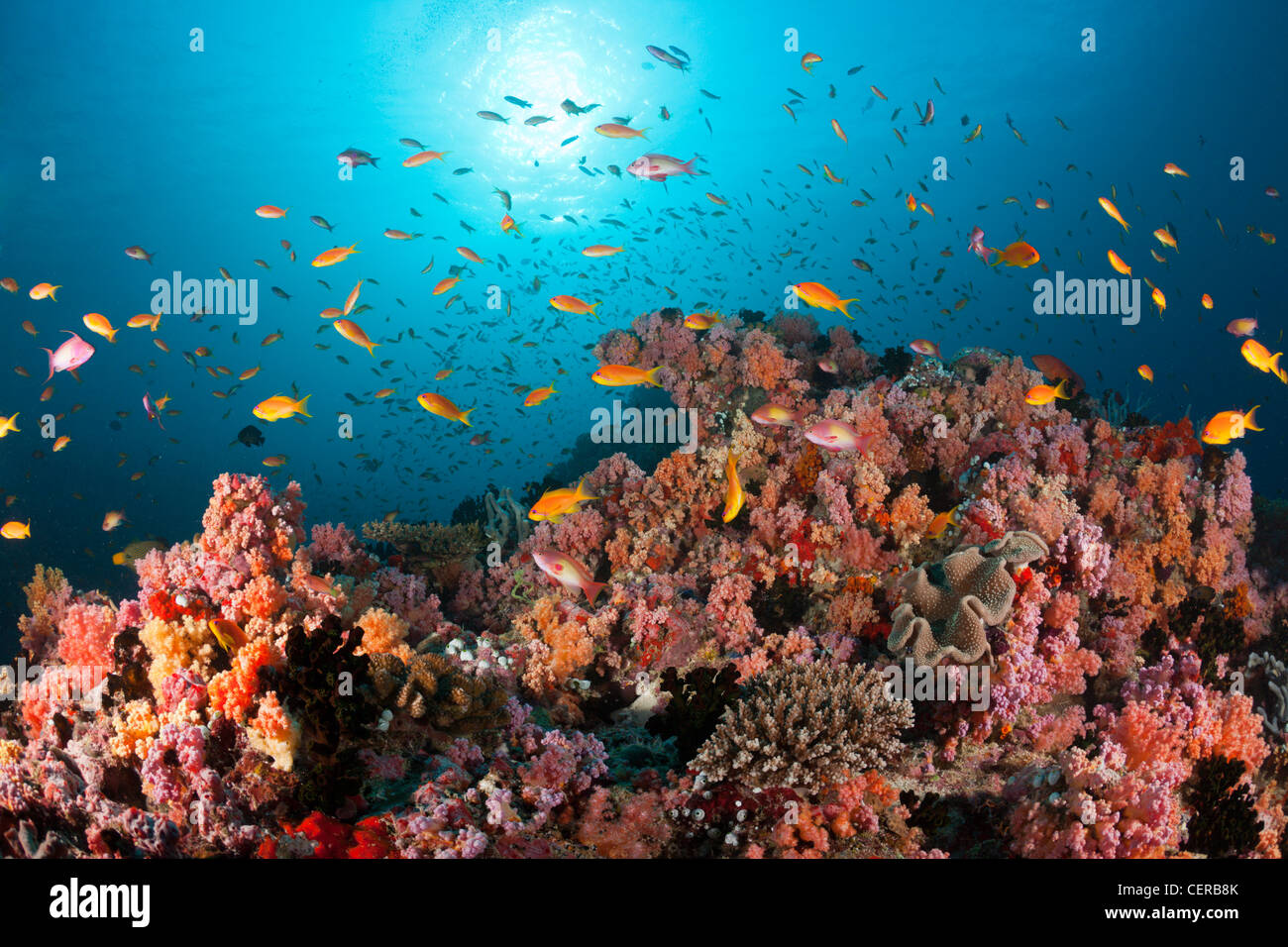 Anthias over Soft Corals, North Male Atoll, Indian Ocean, Maldives - Stock Image