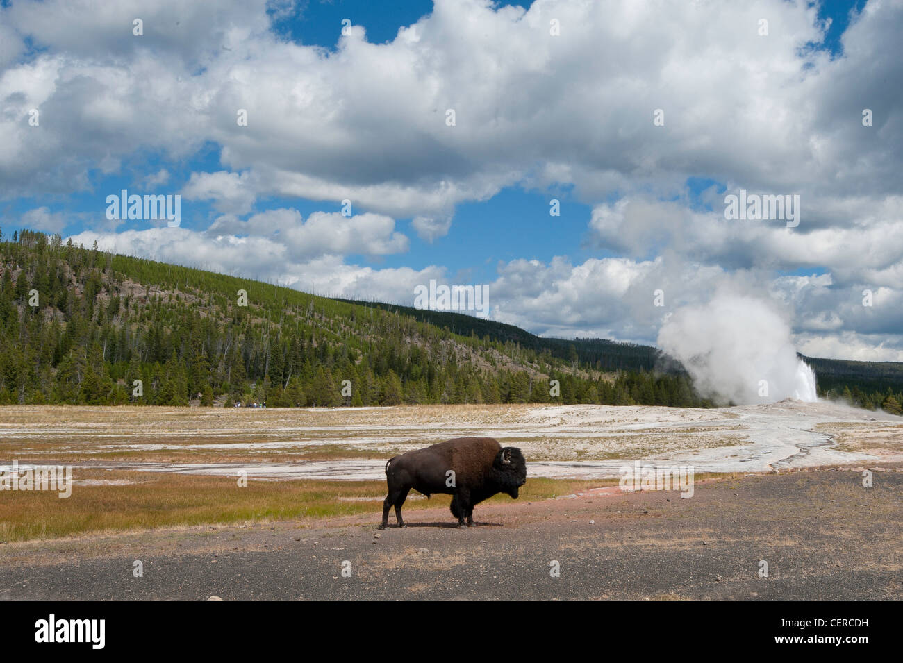 Bison Standing At Old Faithful Geyser Yellowstone National