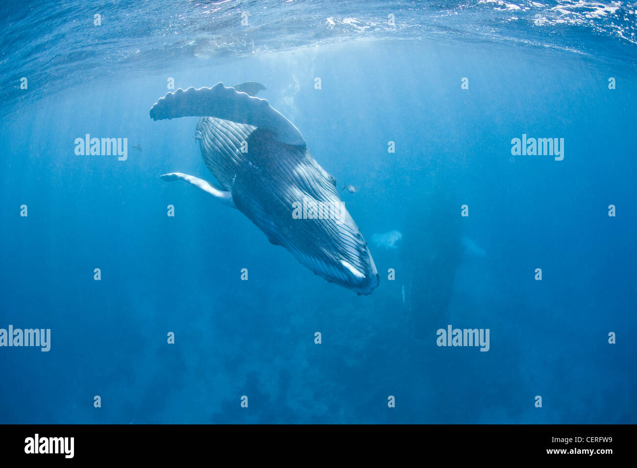 A Humpback whale calf, Megaptera novaeangliae, plays at the surface, before its long migration northward to feeding Stock Photo